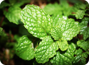 bad_dog_breath_home_remedies_-_fresh_mint