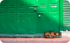 how to adopt a stray dog - community indie dog