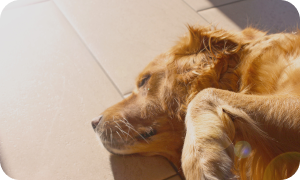 how to adopt a stray dog - indie dog sleeping indoors