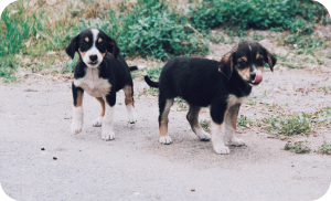 how to adopt a stray dog - indie puppy dogs