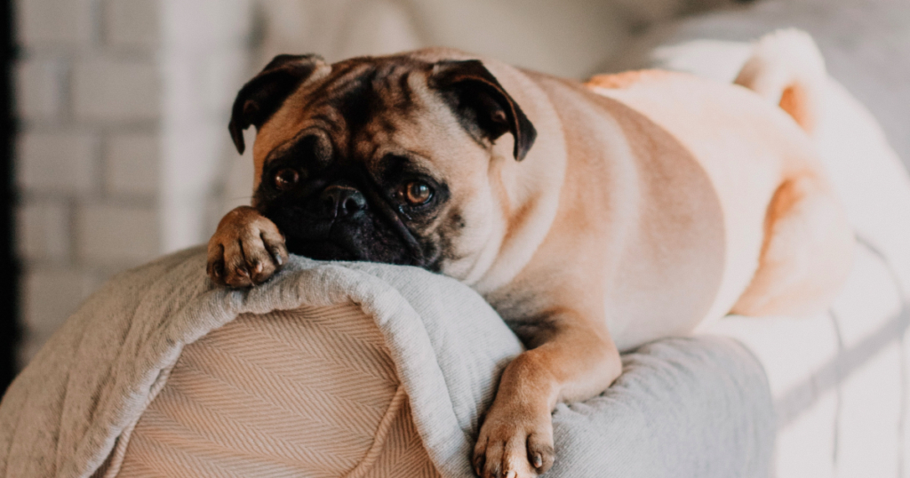 Apartment Dogs In India 8 Breeds For Every Home Size