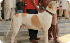 Indian dog breeds - Indian mastiff