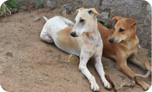 Indian dog breeds - Pandikona