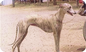 Indian dog breeds - Rampur greyhound
