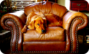 dog on leather sofa