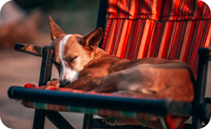 sleepy dog on sunchair