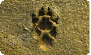 Paw patch on wet ground